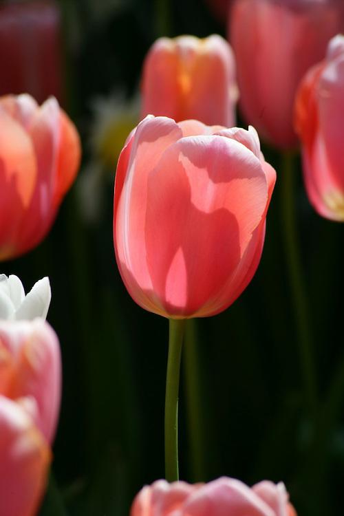 Tulipans