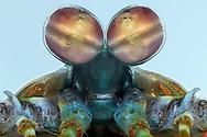 DEU, Deutschland: Augen eines Fangschreckenkrebses (Odontodactylus scyllarus), Augentyp: Facettenauge; Fangschreckenkrebse besitzen die wohl kompliziertesten Augen im Tierreich. Die gelenkigen, gestielten Komplexaugen bestehen aus je bis zu 10.000 hochaufloesenden und sehr lichtstarken Einzelelementen; mittels eines in der Augenmitte liegenden Querbandes wird ein Objekt aus drei verschiedenen Perspektiven aus gesehen, mit Hilfe von zwei Analysatoren ist es den Tieren moeglich, eine Beute anzupeilen, eine exakte Distanzbestimmung vorzunehmen und sie dadurch optimal zu erlegen; die Augen koennen trinokular und binokular sehen; neben 100.000 Farben nehmen sie Licht auf 16 kanaelen wahr, u.a. koennen sie auch UV-Licht und polarisiertes Licht erkennen; Augengroesse ca. 5 mm, Freiburg, Baden-Wuerttemberg | DEU, Germany: Eyes of a Mantis shrimp (Odontodactylus scyllarus), type of eye: compound eye, mantis shrimps have the most complex eyes in the animal kingdom, the mobile stalked compound eyes is made up of up to 10,000 high-definition and very brightly separate ommatidia, by a midband in the middle of the eye is it possible to see objects with three different parts of the same eye, by two analysers the animal is possible to locating a prey, a specific distance determination for optimal killing, the eyes possesses trinocular vision and depth perception, beside 100.000 colors they notice light on 16 channels, among others they are also able to recognize UV light and polarized light, eye size circa 5 mm, Freiburg, Baden-Wurttemberg