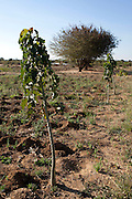 7 June 2010, Mazabuka, Zambia. The Jatropha is a genus of approxiamtely 175 succulent plants, trees and shrubs, that has been cited as one of the best candidates for biodiesel production. It is hardy and resistant to drought and pests.