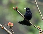 The hair-crested drongo (Dicrurus hottentottus) is native to India and Bhutan through Indochina to China, Indonesia, and Brunei.<br />
