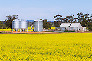 grain silos and old equipment shed in canola field near St Arnaud, Victoria, Australia <br />