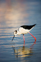 (Himantopus himantopus) Black-winged stilts, Camargue, France