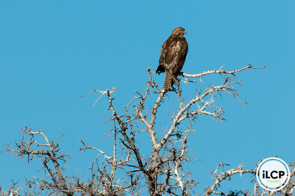 Red-tailed hawk, Buenos Aires National Wildlife Refuge.