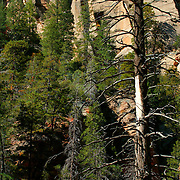 Closeup of trees towering above the trail - Oak Creek Canyon, AZ