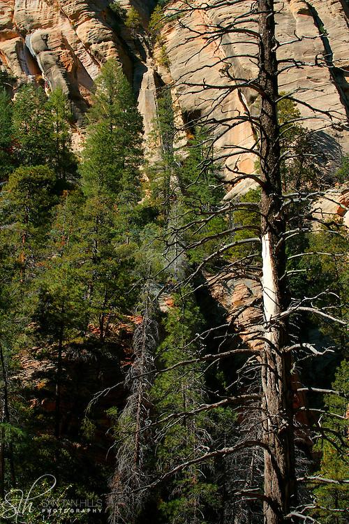 Closeup of trees towering above the trail - Oak Creek Canyon, AZ