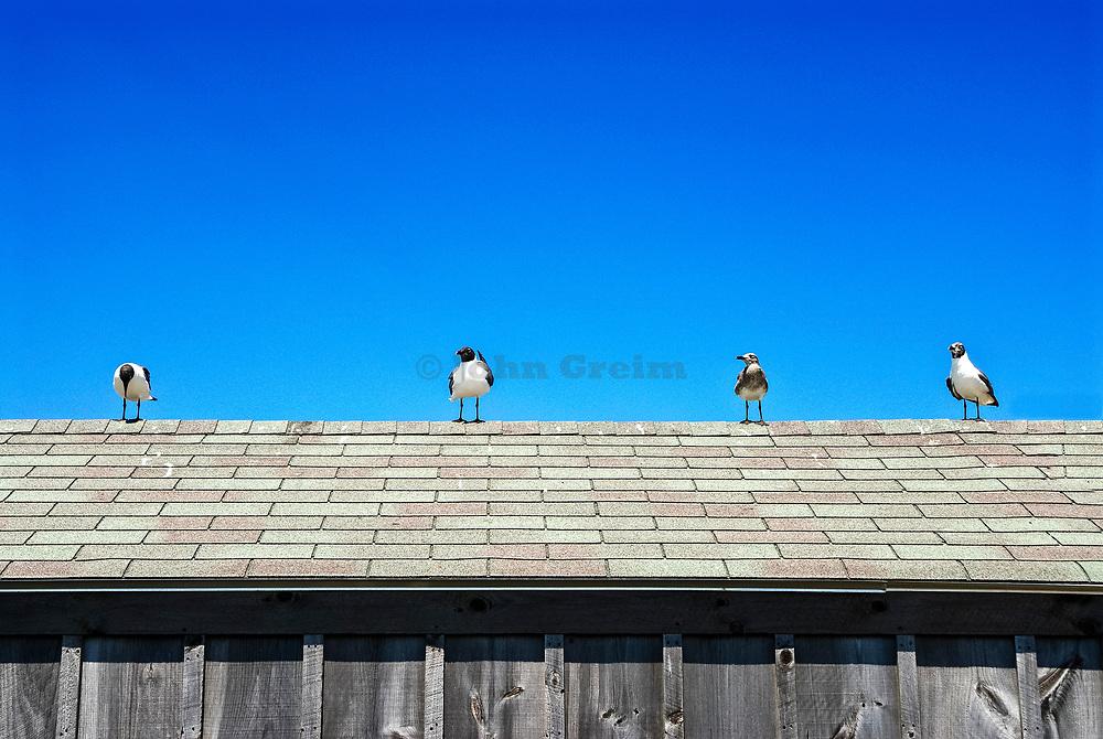 Seagulls congregate on the roof of a beach shack, Cape Cod, Massachusetts, USA.