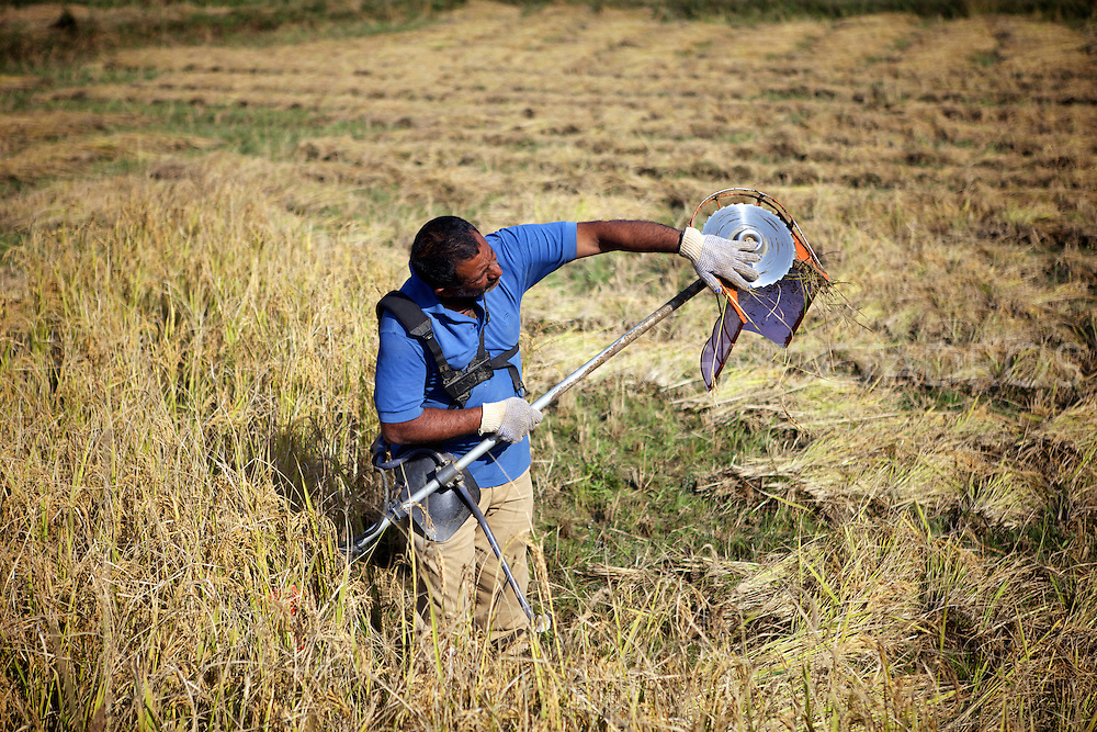 Rice cleaning his snipper at a Rice Plantation in Madikeri in Coorg.<br />
