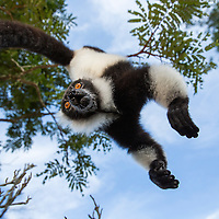 Madagascar, Andasibe-Mantadia National Park,  Black and White Ruffed Lemur (Varecia variegata) hanging from upside-down from tree
