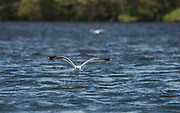 Gulls line the river during the Green Drake emergence on the Henry's Fork in mid June.