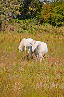 The famous, beautiful, wild white horses of the Camarge, France.