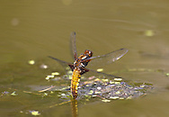 Broad-bodied Chaser - Lilbellula depressa - female egg laying