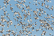 Snow geese during a mass ascent known as a blast off in their winter home at the Bosque del Apache National Wildlife Refuge in San Antonio, New Mexico. About 32,000 snow geese overwinter at the refugee and move in mass during the morning and evenings.