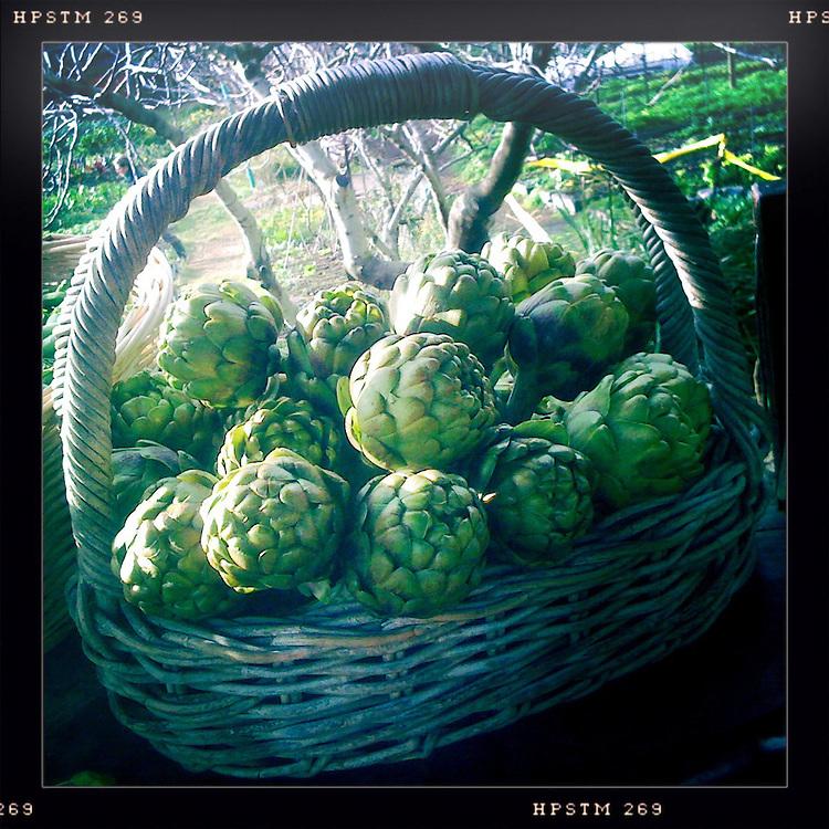 A Basket of artichokes at an organic market