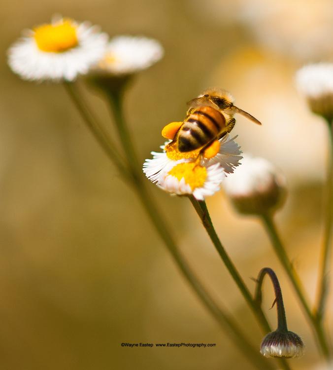 Honey bee harvesting nectar from daisies, Sarasota, Florida