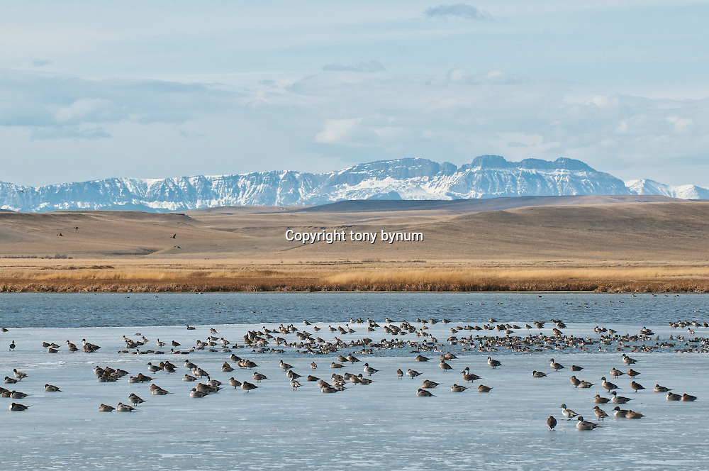 northern pintail ducks resting on ice, spring migration along the rocky mountain front, crown continent