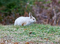 Snowshoe Hare, (Lepus americanus) in winter coat, Nova Scotia, Canada,