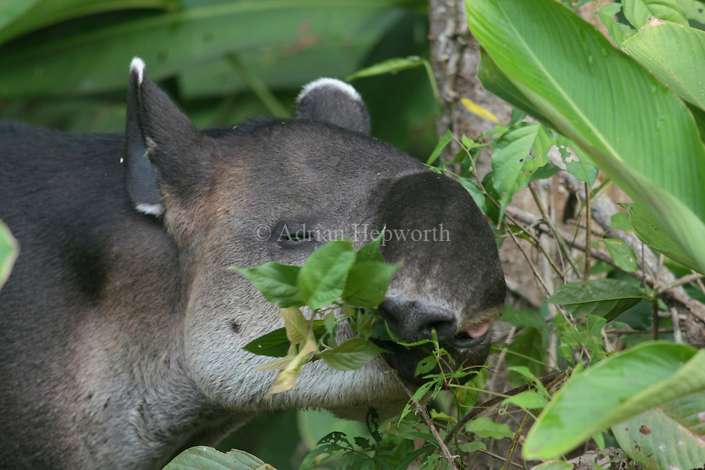 Bairds Tapir (Tapirus bairdii) feeding in rainforest. Corcovado National Park, Osa Peninsula, Costa Rica. <br /> <br /> For pricing click on ADD TO CART (above). We accept payments via PayPal.