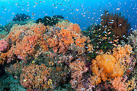 Brightly colored soft corals and schooling Anthias<br /> <br /> Shot in Indonesia