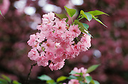Close up of pink cherry blossom blooming