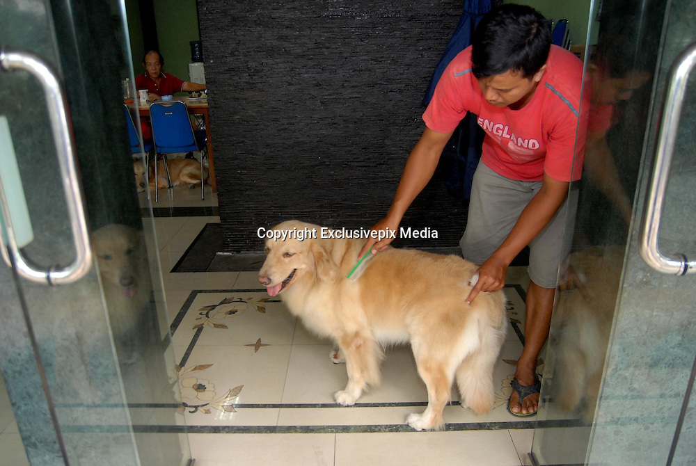 """SURABAYA, INDONESIA - MARCH 15: <br /> <br /> Two Dogs Who Love Ride Motorcycle In Surabaya<br /> <br /> Handoko Njotokusuma The owner who is also a 59-year-old businessman has even claimed to have two types of smart Goldens. Ace and Armani also often invited to stroll around the city of Surabaya on a motorcycle like a beloved grandchild.<br /> <br /> """"At the age of four months, I taught them how to sit in the front. After they grew to full size, approximately eight months, Handoko taught them to sit on the luggage rack. After being taught, bothe dogs would take it in turn and wait for there chance to sit on the engine. <br /> Many people who are interested want photos with Ace and Armani. I am happy every day, """"said Handoko.<br /> <br /> With there helmet and goggles on the dogs enjoy there daily ride. Ace and Armani always travelby motorcycle, since they were a few months old said <br /> Mr Njotokusuma,  Every time they see the owner Handoko leave home, they run and want ride the bike. There is something that sets them apart as Armani is one who can only sit in the back, but the Ace can sit in the front and rear.<br /> Because of the uniqueness of the second dog, even Handoko to ever get a high price bid to buy Ace and Armani. But for Handoko, both dogs are like flesh and blood """"To me, they are like my children. I love them like a loving wife and my biological child.""""<br /> <br /> Photo shows: Indonesian dog lover, Handoko Njotokusuma riding motorcycle with his pet dog, Ace (F) and Armani (B)  in Surabaya, East Java, Indonesia. Handoko Njotokusuma, 59 years, a retired businessman, regularly takes Ace and Armani, a golden retriever, for a ride around the Surabaya city.<br /> ©Syaiful Arif/Exclusivepix Media"""