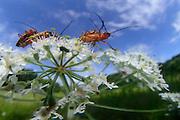 Rotgelber Weichkäfer (Rhagonycha fulva) bei der Paarung und gleichzeitigem verzehr von Pollen auf einem Doldenblütler den Wiesen-Bärenklau (Heracleum sphondylium). Waldrand in Hessen, Marburg, Deutschland