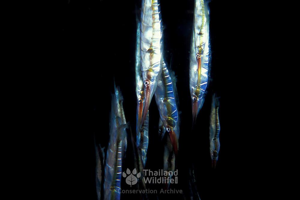 Goup of Razorfish, Aeoliscus strigatus, at police pier, Lembeh Straits, Indonesia.