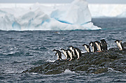Adelie penguins at the edge of the rocks waiting for the first penguin to jump in.