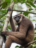 An agile gibbon, (Hylobates agilis)<br /> sitting in a tree in Tanjung Puting National Park, Borneo, Indonesia.