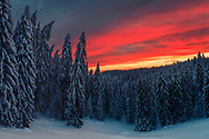 Pine forest covered in snow at sunrise