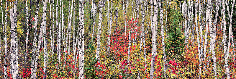 Birch grove panorama in fall foliage