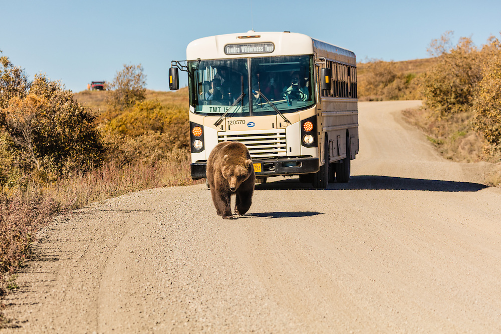 This grizzly bear knows who is king of  the road in Sable Pass in Denali National Park.