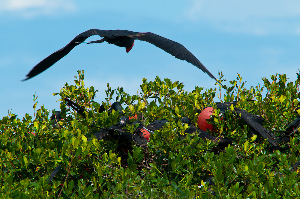 Fregata es un g&eacute;nero de aves suliformes, el &uacute;nico de la familia Fregatidae,1 2 conocidas vulgarmente como rabihorcados o fragatas. Viven en zonas tropicales de los oc&eacute;anos Pac&iacute;fico y Atl&aacute;ntico.<br /> Anidan en &aacute;rboles y arbustos, y los machos atraen a las hembras inflando una bolsa que tienen en la garganta, que parece un globo rojo. Casi nunca se posan en el agua.<br /> Su distribuci&oacute;n son las costas pac&iacute;ficas y Atl&aacute;nticas de Am&eacute;rica, de California Baja a Ecuador, incluyendo Galapagos, y de Florida a Brasil.<br /> <br /> &copy;Alejandro Balaguer/Fundaci&oacute;n Albatros Media.