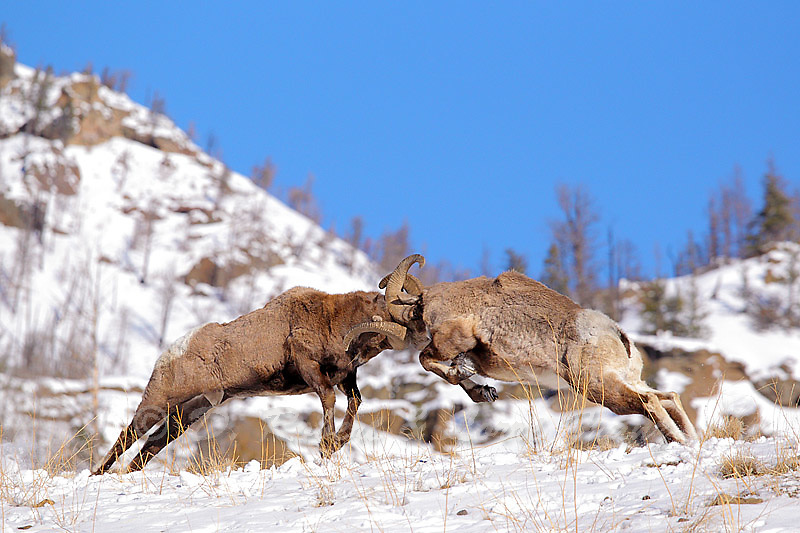 "Images from ""Battling Bighorns"" photo tour"