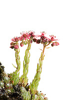 IFTE-NB-007598; Niall Benvie; Sempervivum montanum; housleek; Europe; Austria; Tirol; Fliesser Sonnenhänge; vegetation flowering plant succulent; vertical; high key; pink green white; wild; rocky lime bare upland; 2008; July; summer; backlight strobe; Wild Wonders of Europe Naturpark Kaunergrat
