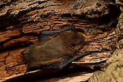 Bat Common pipistrelle (Pipistrellus pipistrellus) roosting in oak tree, Kiel, Germany | Zwergfledermaus (Pipistrellus pipistrellus) verläßt ihr Tagquartier in einer alten, abgestorbenen Eiche. Kiel Deutschland