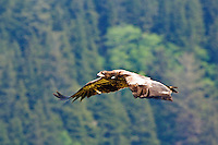 Juvenile Bald Eagle soars over Olympic National Park, Washington.