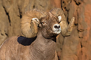 At eight years of age, this large ram dominated all challengers in the Shoshone National Forest.  The only ram sporting a full curl set of horns, no other ram dared challenge his authority.