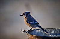 Blue Jay in the Morning Sun. Image taken with a Nikon D5 Camera and 600 mm f/4 VR lens (ISO 180, 600 mm, f/4, 1/640 sec).