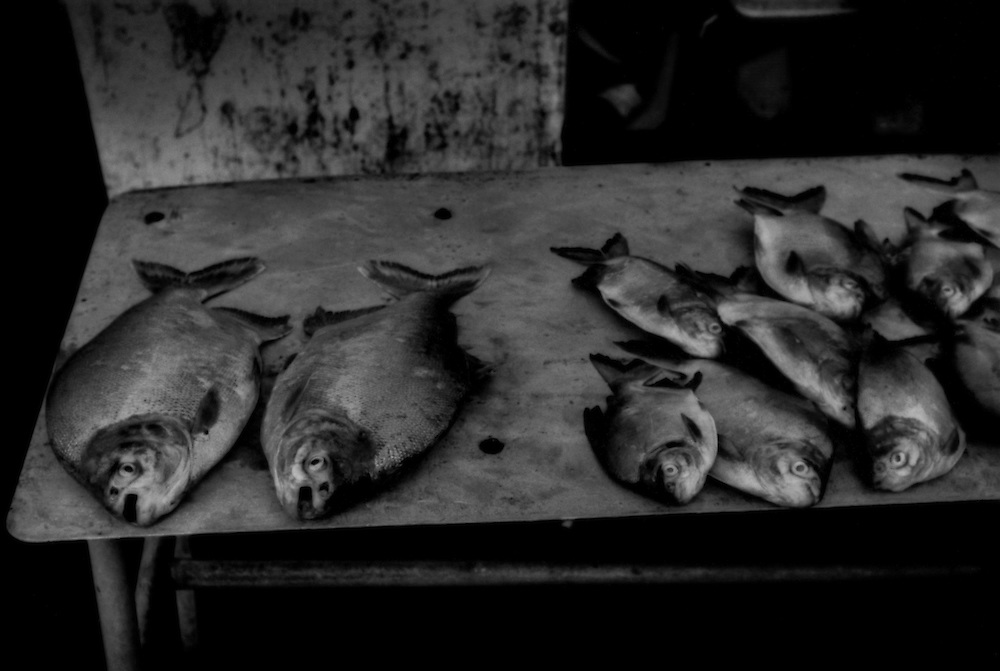 Razor toothed, Piranha (right) and their big-toothed cousins, Pacu, for sale on the street in Coca, Ecuador.  Much of the protein, particularly in indigenous Kichwa, Huaorani and Shuar settlements comes from the extensive Amazonian river system, which has been severely compromised by inevitable petroleum contamination when oil exploration takes place and there are hundreds, maybe thousands of drilling sites in the Ecuadorian Amazonas region.