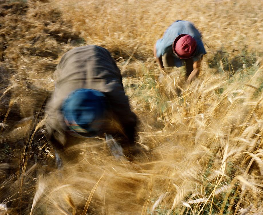 Récolte du blé par des saisonniers égyptiens, main d'œuvre au coût très avantageux pour les propriétaires de grosses exploitations du nord de la Jordanie qui en plus exportent 90% de leur production à l'étranger. Jordanie, mai 2011