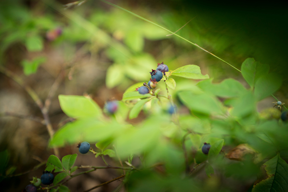Picking bluerberries along the White Birch Trail at Pictured Rocks National Lakeshore near Munising, Michigan.