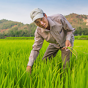 CAPTION: After applying sustainable cultivation techniques learned through training sessions by We Effect's partners HESDI, Chung has experienced an increase in productivity. LOCATION: Coong Village, Huy Tuong, Son La Province, Vietnam. INDIVIDUAL(S) PHOTOGRAPHED: Vi Van Chung.