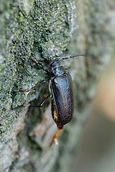 Lederboktor, Prionus coriarius