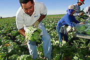 03 FEBRUARY 2003 - YUMA, ARIZONA, USA: Harvesting lettuce on a farm near Yuma, AZ. The produce is packaged as it is picked and will be taken directly to distribution centers. More than 80 percent of the winter vegetables consumed in the United States are grown in the fields surrounding Yuma and most of the rest come from the nearby Imperial Valley of California. The fields are irrigated by water from the Colorado River.  PHOTO BY JACK KURTZ