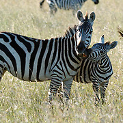 Burchell's Zebra (Equus burchelli) Mother with young. During migration in Serengeti National Park, more than 200,000 zebras migrate along side one million wildebeest and 300,000 Thomson's gazelles. Tanzania. Africa. February.