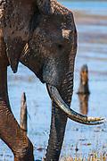A bull elephant with impressive tusks at Lake Kariba, Zimbabwe