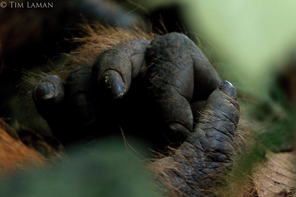 Close view of Borneo Orangutan (Pongo pygmaeus) right hand.  Adult male Jari Manis.