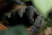 Close view of Borneo Orangutan (Pongo pygmaeus) right hand.  Adult male Jari Manis.