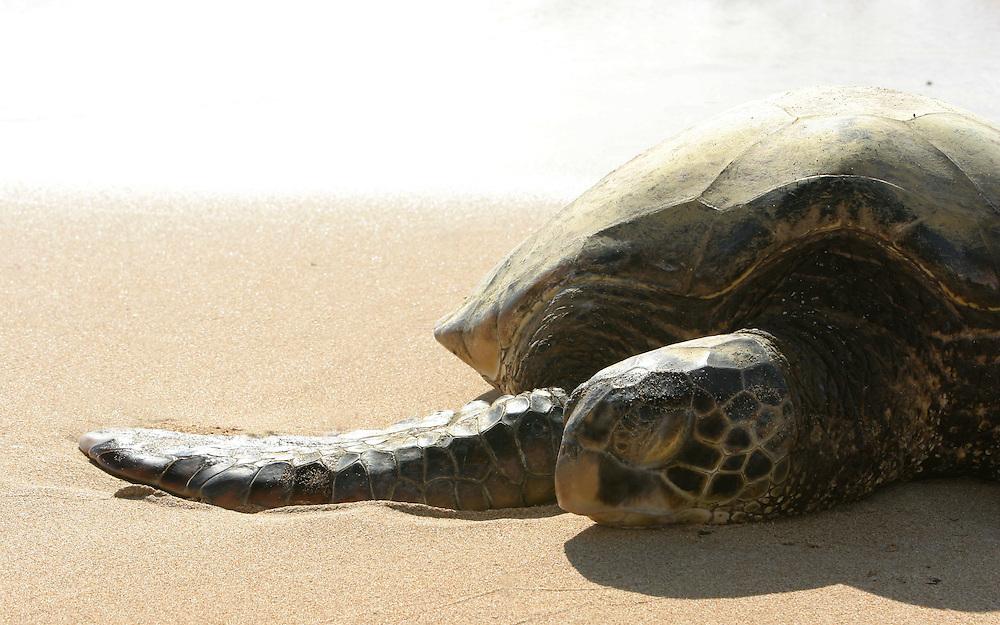 turtle sleeping on the beach,Hawaii,