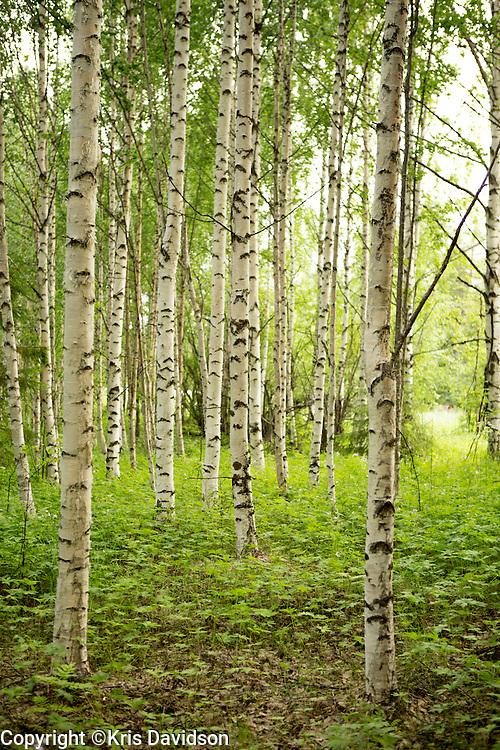 A birch forest in Harads, Sweden.